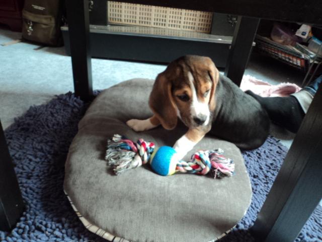 qaund peut on laver son chiot? - forum soigner son chien - beagle