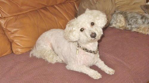 Quel petit chien doux calme et qui ne perd pas ses poils adopter question choisir son chien - Chat qui perd pas ses poils ...
