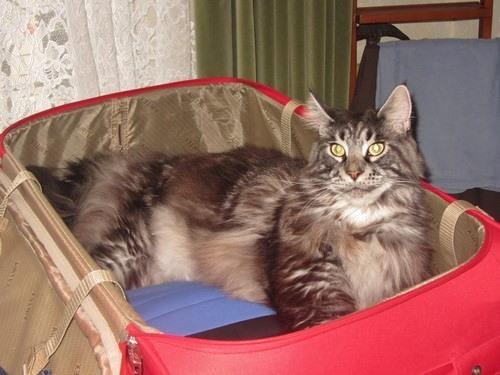 comment nourrir mon chat de grande taille forum nourrir son chat savannah wamiz. Black Bedroom Furniture Sets. Home Design Ideas