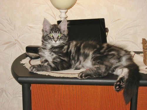 Poids maine coon male 7 mois