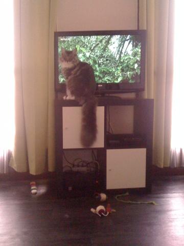 Les chats et la tv forum chats page 2 wamiz - Bruit qui attire les chats ...
