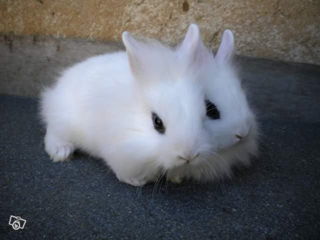 Photos lapins nains ou autre lapins forum rongeurs - Photo de lapin mignon ...