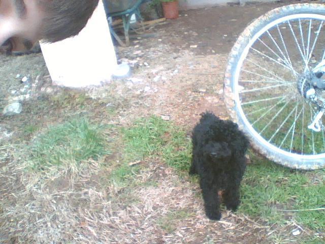 mon chien a aval du poison pour souris que faire forum soigner son chien caniche wamiz. Black Bedroom Furniture Sets. Home Design Ideas