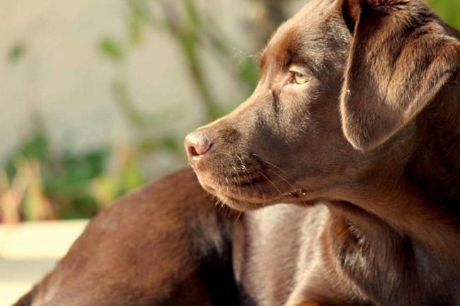 Donne Labrador Femelle Chocolat Forum Chiens Wamiz