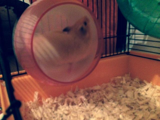 Bonjour Pyxelle Forum Hamster Hamster Wamiz