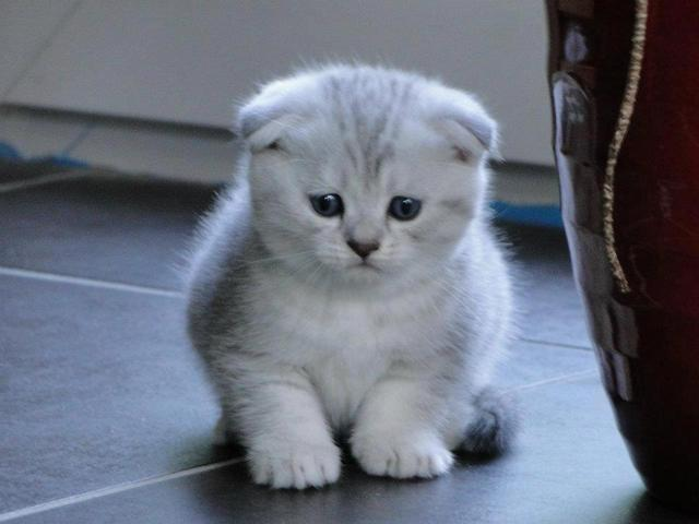 Combien De Temps Faut Il Pour Un Chaton Scottish Fold Forum Entretenir Son Chat Scottish Fold Page 3 Wamiz