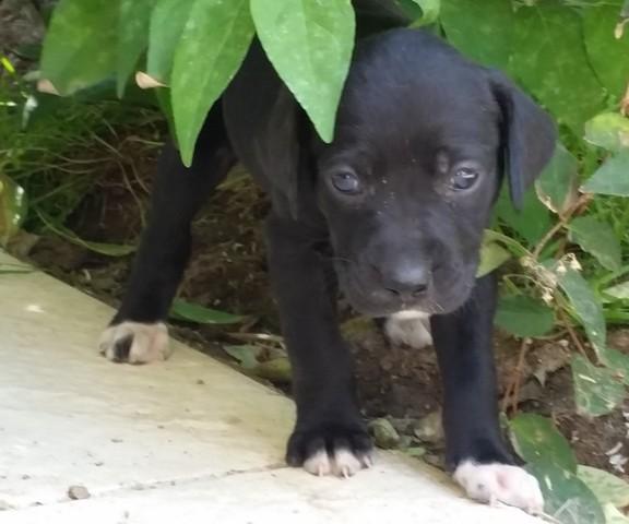 Donne Chiot Type Labrador Forum Chiens A Donner Wamiz