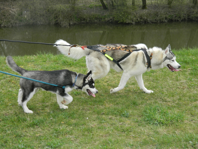 promener mon husky sans laisse est ce possible forum chiens husky sib rien page 6 wamiz. Black Bedroom Furniture Sets. Home Design Ideas