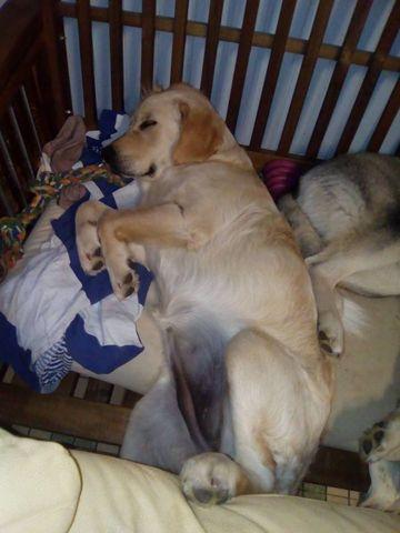 quel est le poids d 39 un chiot golden retriever question nourrir son chien wamiz. Black Bedroom Furniture Sets. Home Design Ideas