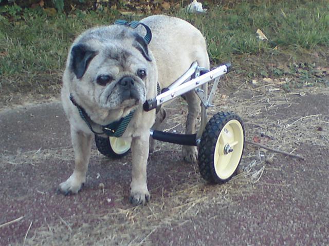 chariot pour chien paralys forum chiens wamiz. Black Bedroom Furniture Sets. Home Design Ideas