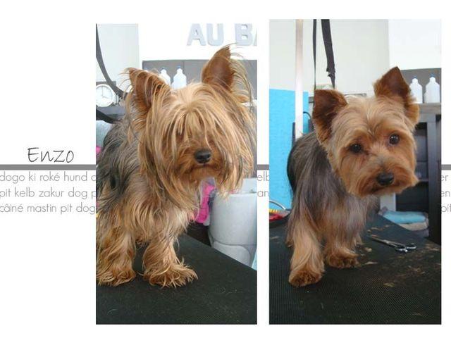 Besoin d 39 aide pour une question forum chiens wamiz - Coupe de poils pour yorkshire ...