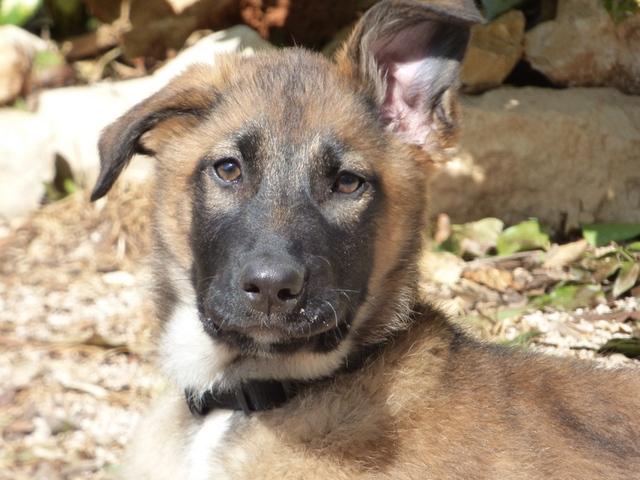 Oreille Malinois Chiot - Forum Comprendre son chien