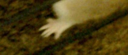 Peut on couper les ongles des hamsters forum hamster - Peut on couper les ongles des chiens ...