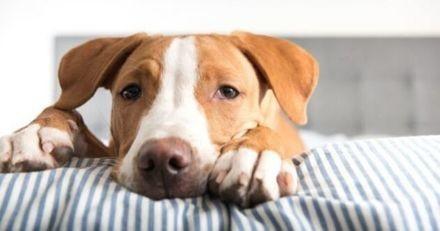 Quelles races de chiens sont plus à risque d'avoir des maladies ?