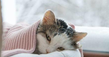 Quelles sont les principales maladies du chat ?