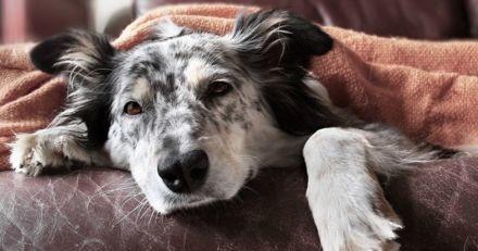 Quelles sont les principales maladies du chien ?
