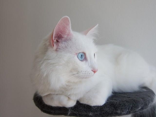 chat blanc aux yeux bleus surdité