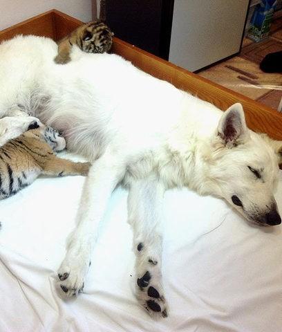 une chienne adopte une portée de tigres