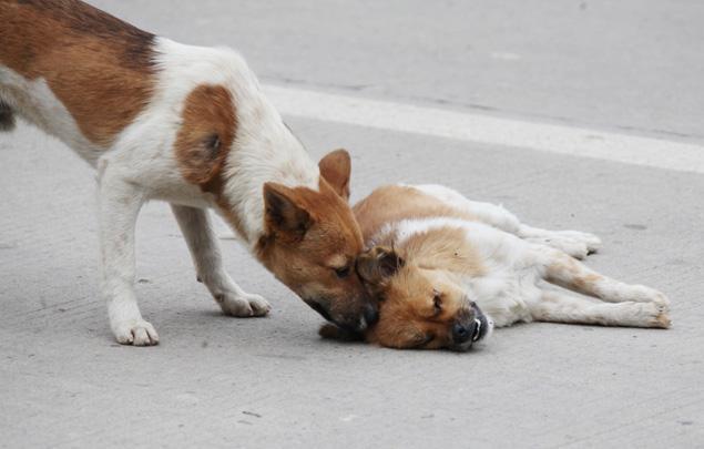 un chien vielle sur le cadavre de sa compagne