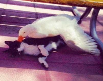 un chat et un canard deviennent inséparables
