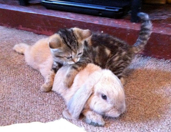 un lapin et un chaton amitié