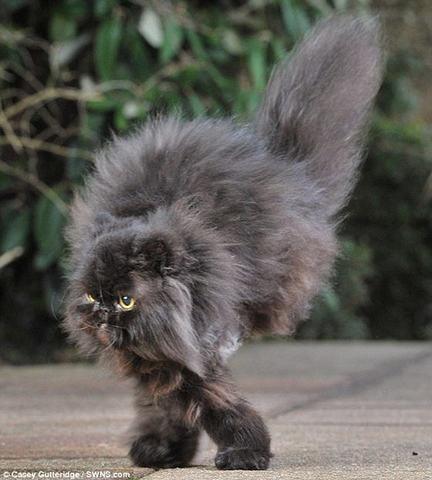 un chat marche sur seulement 2 pattes