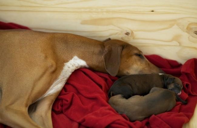 La mise bas chez la chienne : son déroulement, les