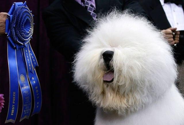 concours de beauté canine bobtail