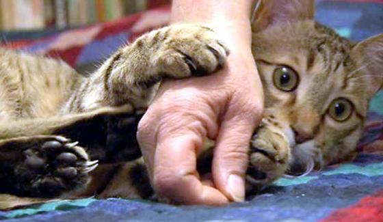 Un soldat sauve un chat en Afghanistan
