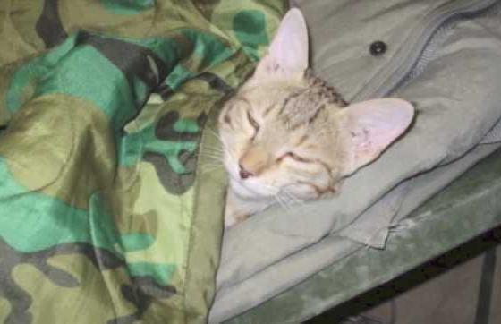 Un chat et un soldat se sauvent l'un l'autre en Afghanistan