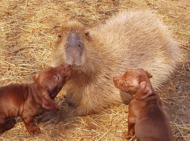 des chiots adoptés par un capybara