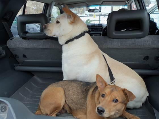 Un chien parcourt 16 kilomètres pour rejoindre sa bien-aimée