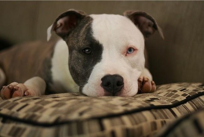 pitbull races de chien préférées des français