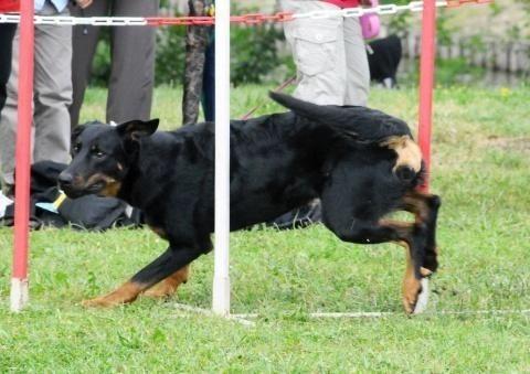 Le chien de sport et d'utilité à l'honneur à Bordeaux ce week-end