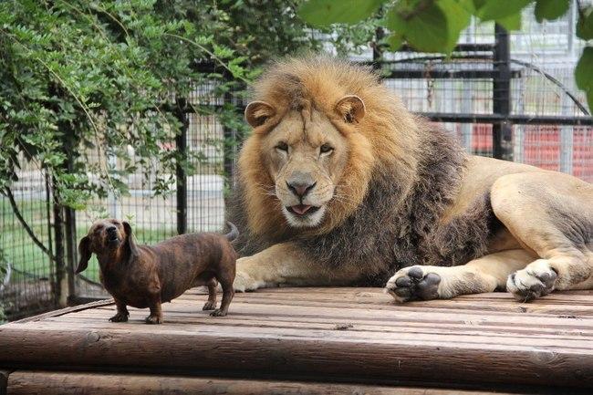 Milo et Bonedigger, un chien et un lion inséparables