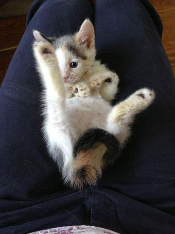 Saltwater Taffy, l'adorable chaton aux