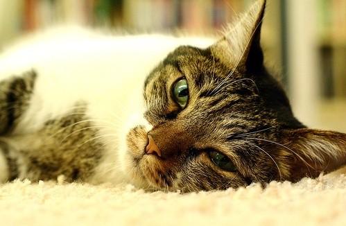 La folie chez le chat : oui, elle existe