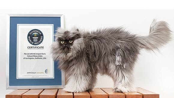 Colonel Meow, le chat au plus long poil