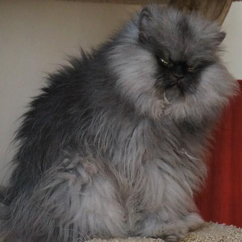 Colonel Meow, le chat au plus long poil