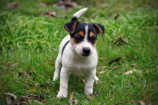 comment chasse le jack russel