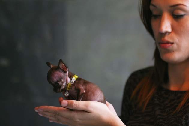 Le Plus Petit Chien Du Monde S Appelle Miracle Milly Insolite Wamiz