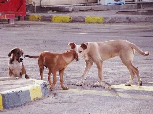 chiens errants roumanie