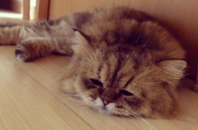 Foo-Chan : le Grumpy Cat venu du Japon (Photos)