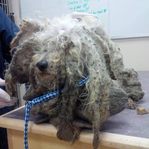 La métamorphose de Shrek, un chien abandonné dans les bois
