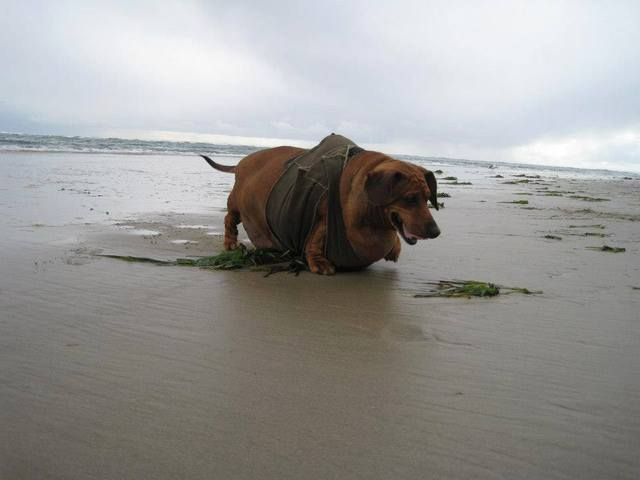 chien obèse