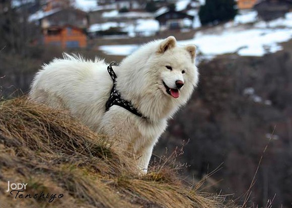 Qu'est ce qu'un chien primitif, et comment l'éduquer ?