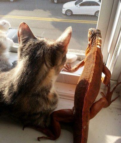 un chat ami avec un iguane