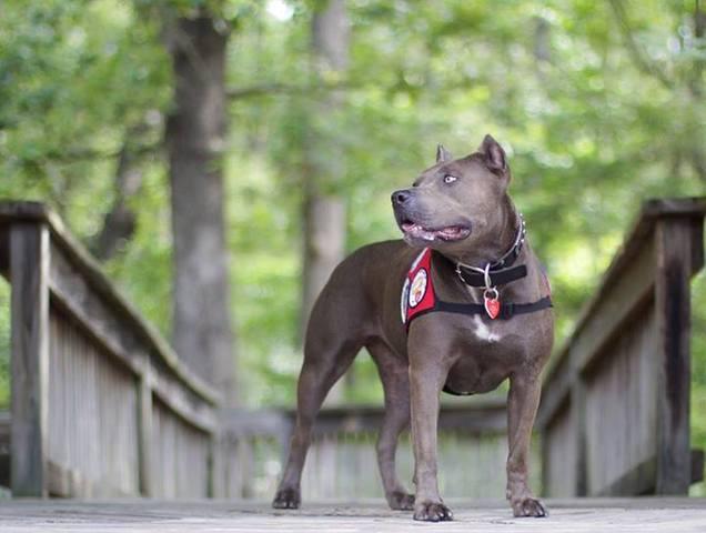 pit bull chien héros
