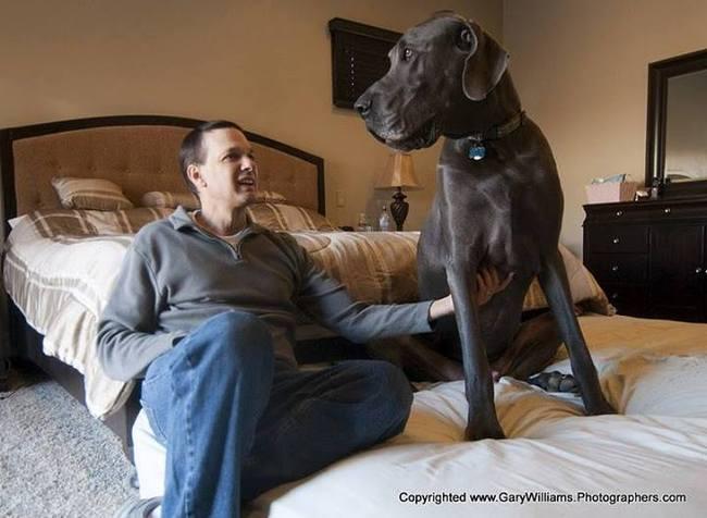 Giant George : le chien le plus grand du monde est mort