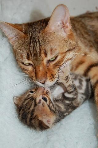 Le ronronnement du chat : pourquoi est-il si important pour la mère et ses petits ?
